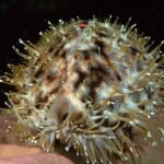 concha cowrie molusco marino